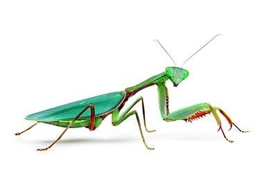Female Australian Giant Rainforest Mantis Poster by Alex Hyde