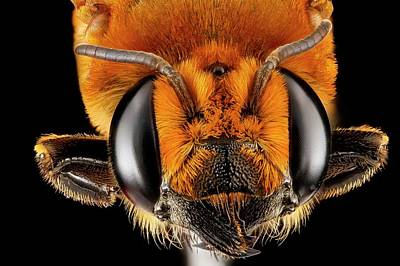 Female Bee Head Poster by Us Geological Survey