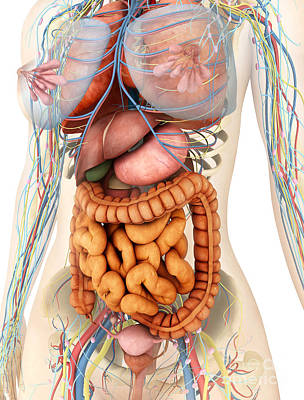 Female Body Showing Digestive Poster by Stocktrek Images