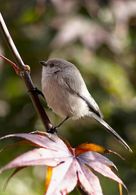 Female Bushtit Poster by Betty Depee
