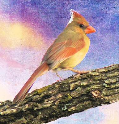 Female Cardinal Away From Sun Poster