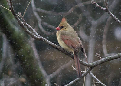 Female Cardinal In Snow 01 Poster by Shelly Gunderson