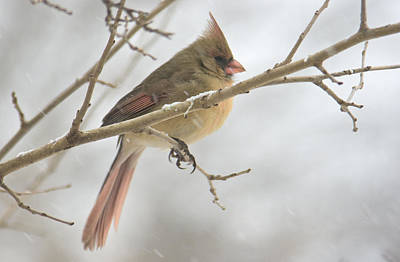 Female Cardinal In Snow 02 Poster by Shelly Gunderson