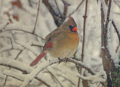 Female Cardinal In The Snow II Poster