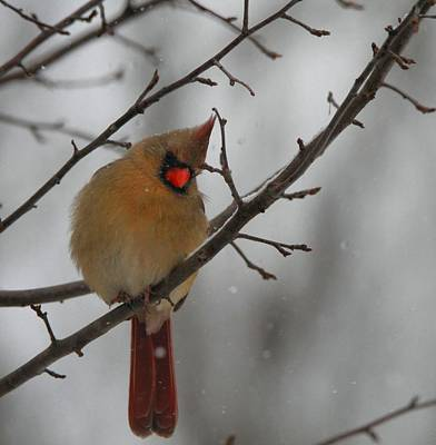 Female Cardinal In Winter Poster by Dan Sproul