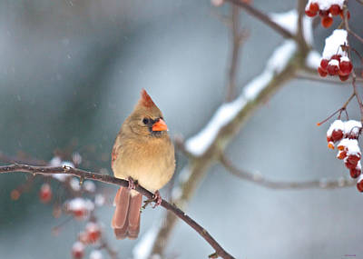 Female Cardinal On Cherry Tree In Snow Poster