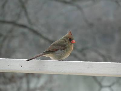 Female Cardinal Posing Poster by Cindy Croal