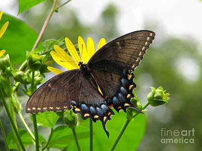 Poster featuring the photograph Female Dark Form Swallowtail Butterfly  by Eva Kaufman