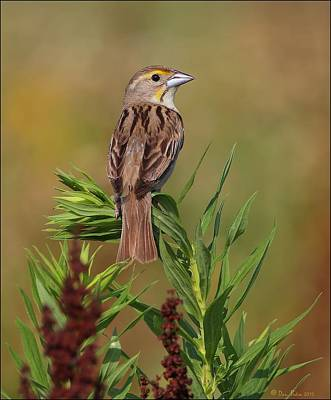 Poster featuring the photograph Female Dickcissel by Daniel Behm