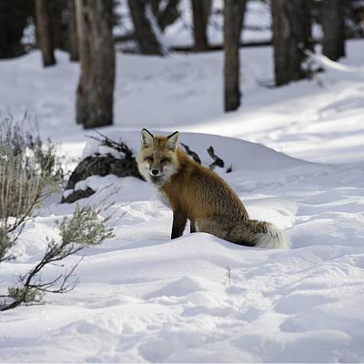 Female Fox Poster