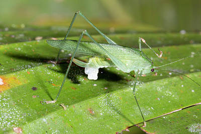 Female Katydid With Spermatophore Poster by Dr Morley Read