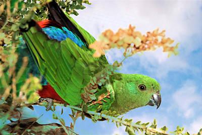 Female King Parrot Poster