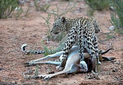 Female Leopard & Cub With Springbok Prey Poster by Tony Camacho