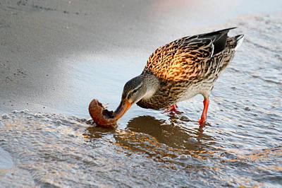 Poster featuring the photograph Female Mallard Duck  by Ann Murphy