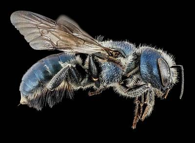 Female Mason Bee Poster by Us Geological Survey