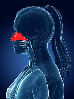 Female Nasal Cavity Poster by Sebastian Kaulitzki