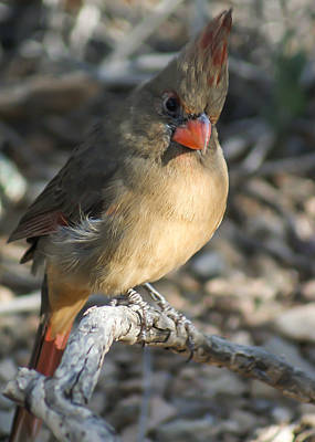 Female Northern Cardinal Poster by Stacy Fortson