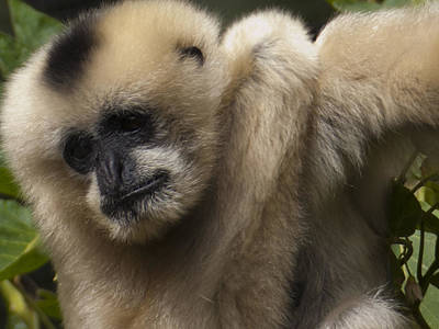 Female Northern White Cheeked Gibbon Poster by Star Ship
