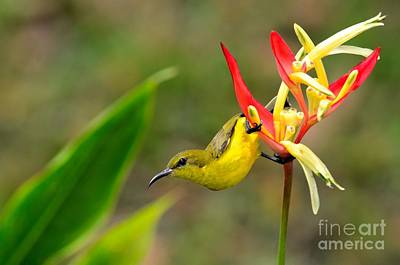 Female Olive Backed Sunbird Clings To Heliconia Plant Flower Singapore Poster