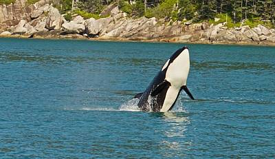 Female Orca Cheval Island Alaska Poster by Michael Rogers
