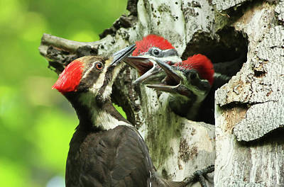 Female Pileated Woodpecker At Nest Poster