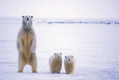 Female Polar Bear Standing With Her Two Poster by Steven Kazlowski