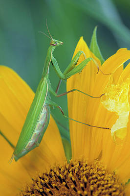 Female Praying Mantis With Egg Sac Poster by Jaynes Gallery