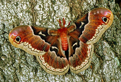 Female Promethea Moth Poster by Millard H Sharp