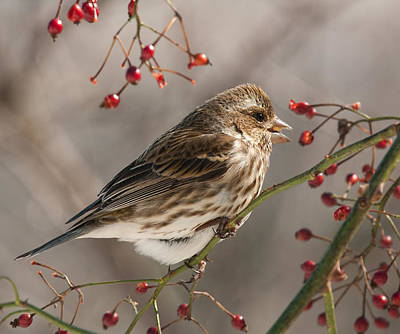 Poster featuring the photograph Female Purple Finch On Berries by Lara Ellis