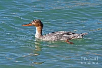 Female Red-breasted Merganser Poster