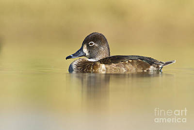 Poster featuring the photograph Female Ring Necked Duck by Bryan Keil