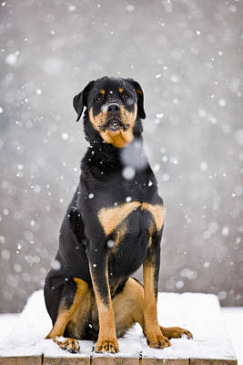 Female Rottweiler Sitting On Top Of A Poster by Jim Craigmyle