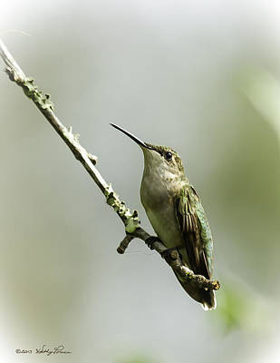 Female Ruby-throated Hummingbird 1 Poster by Kathy Ponce