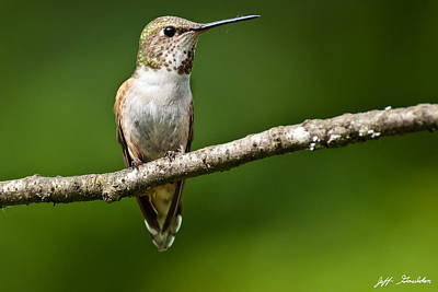Poster featuring the photograph Female Rufous Hummingbird In A Tree by Jeff Goulden