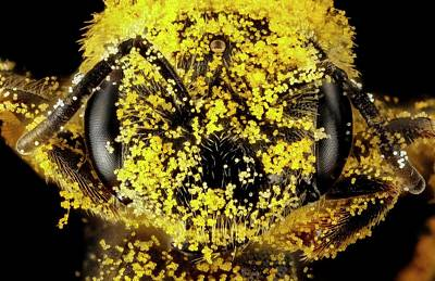 Female Sweat Bee Head With Pollen Poster by Us Geological Survey