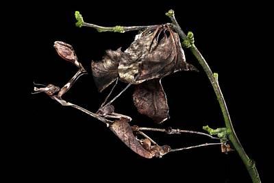Female Violin Mantis Poster by Alex Hyde