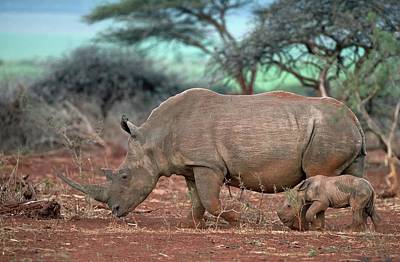 Female White Rhino With Calf Poster