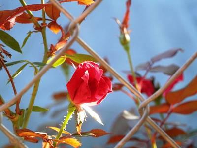 Fenced Rose Bud Poster