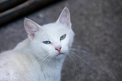 Feral White Cat On The Streets Poster