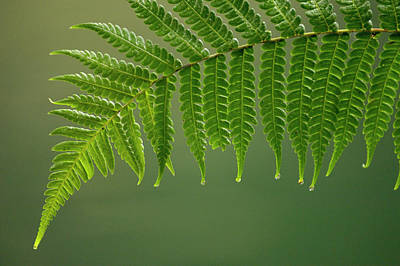 Fern Frond With Drip Tips Poster by Pete Oxford