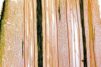 Fern (pteridium Aquilium) Rhizome Poster