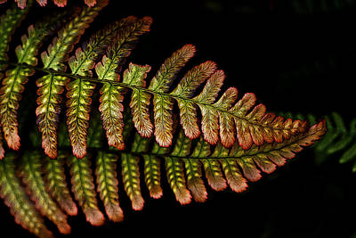 Poster featuring the photograph Fern by Sonya Lang