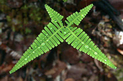 Fern With Water Drops Poster by Thomas Marent