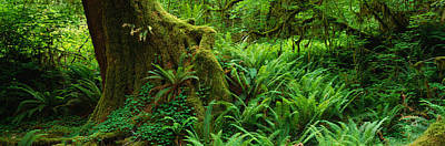 Ferns And Vines Along A Tree With Moss Poster by Panoramic Images