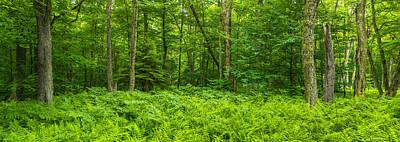 Ferns Blanketing Floor Of Summer Woods Poster