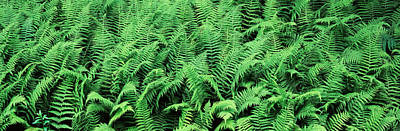 Ferns In A Forest, Adirondack Poster