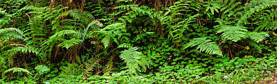 Ferns In Front Of Redwood Trees Poster by Panoramic Images