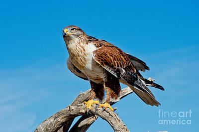 Ferruginous Hawk About To Take Poster