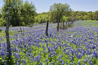 Field Of Bluebonnets Poster