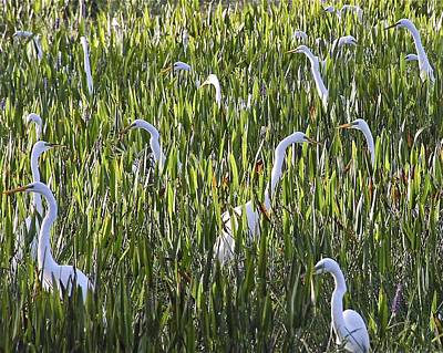 Field Of Egrets Poster